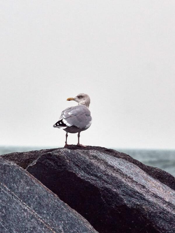 Wildtierfoto - Möwe auf Helgoland