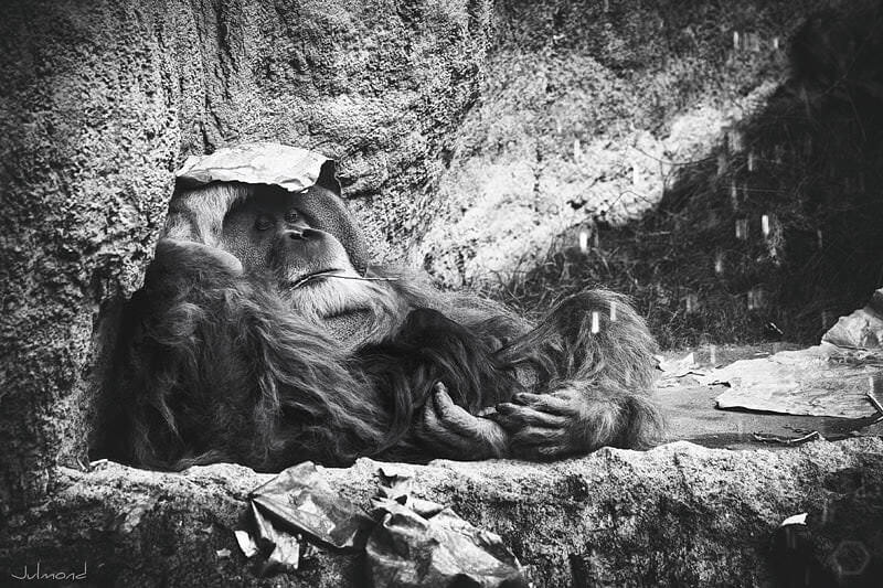 Wieso setzen sich Affen im Zoo Papiertüten auf?
